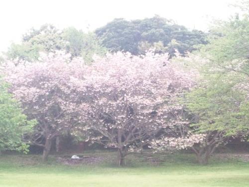 大房岬自然公園の野に咲く桜は満開なりか