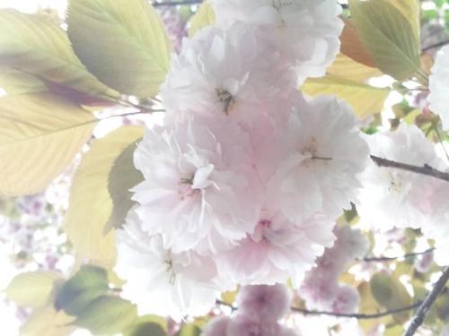 大房岬の野に咲く桜の花をクローズアップでデジカメ写真撮影