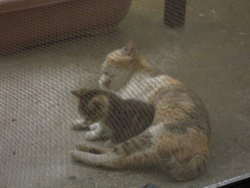 テラスのプランターそばに地域猫の親子が登場で子猫かわいい写メ画像