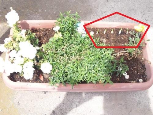 テラスのプランターに少し成長したネギの芽を植えた嫁でした