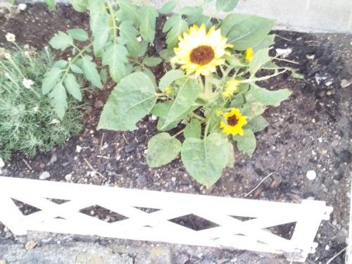我が家の灰をまいた土に庭に咲いたミニひまわりをクローズアップ