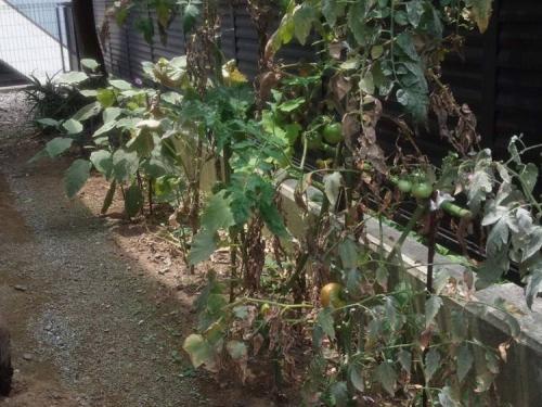 静岡県東部の我が家の隣家の裏庭には赤くなってきたトマトとナスが家庭栽培されている写真