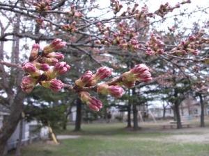 140421桜つぼみ