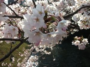 140424外濠に桜2