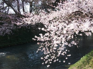 140424外濠に桜1