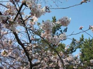 140424桜と松と青空と