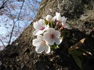 140424幹に桜