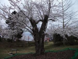 140501早掛沼桜の古木