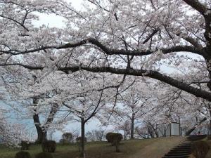 140501早掛沼桜の木の下