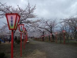 140501早掛沼桜の道