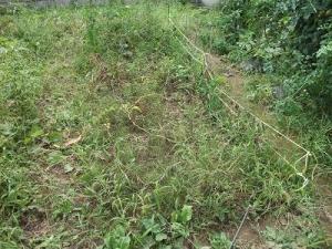 140825キタアカリ収穫前