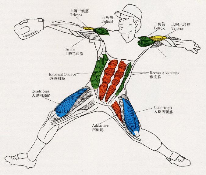野球筋肉図2