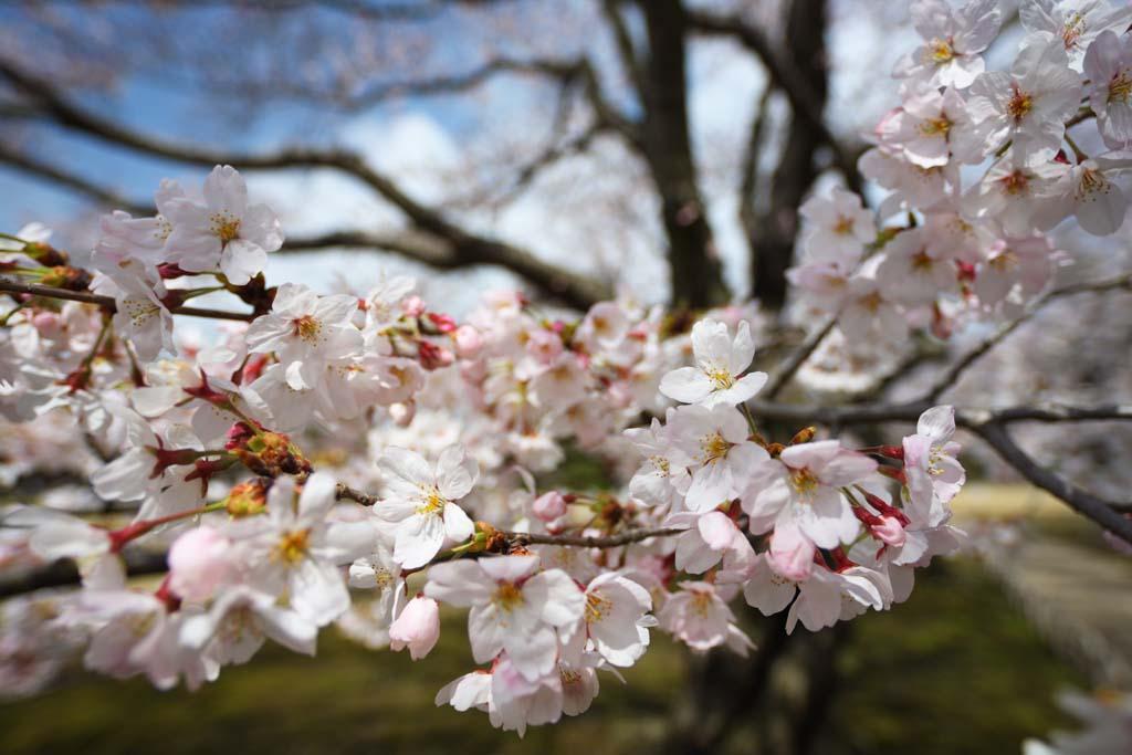 yun_9652 桜