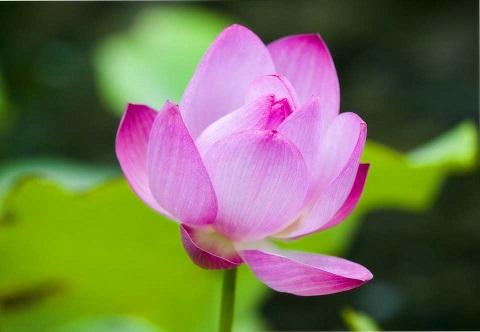 yun_3160 蓮の花