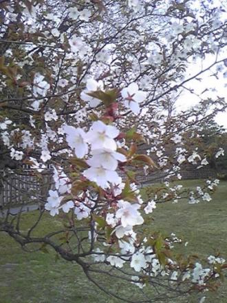 1924239257_205桜