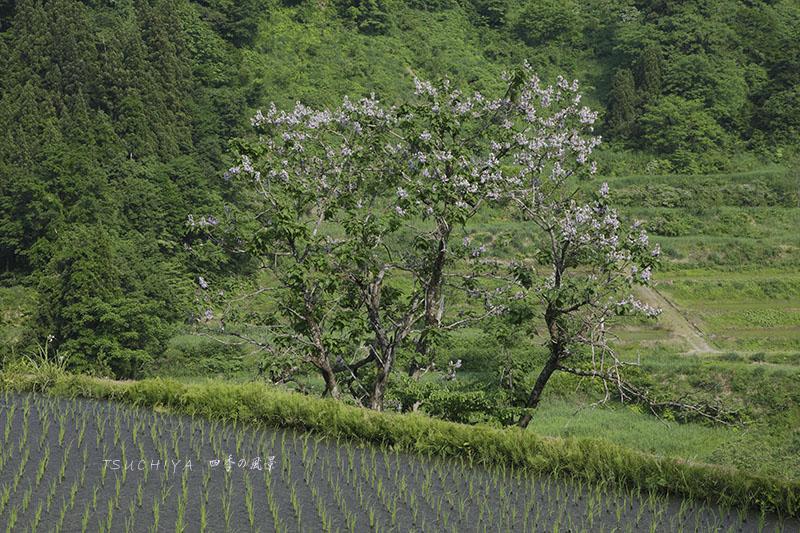 桐の木と田んぼ