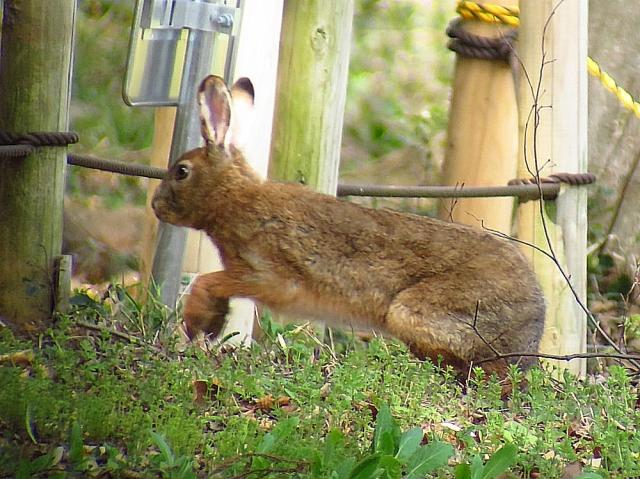 ノウサギ:クリックして大きな画像で御覧下さい