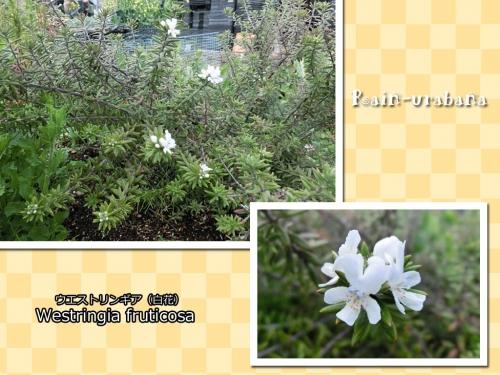 ウエストリンギア白花咲きました♪