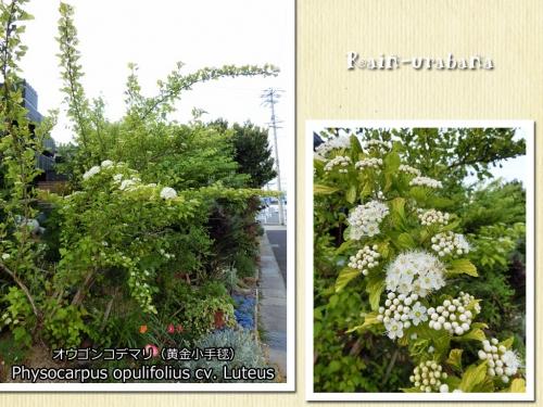 今年もオウゴンコデマリ咲きました♪