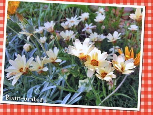 2年目ローダンセマム・カタナンチェも咲いてます♪