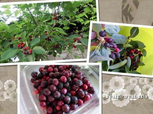 ジューンベリー収穫♪