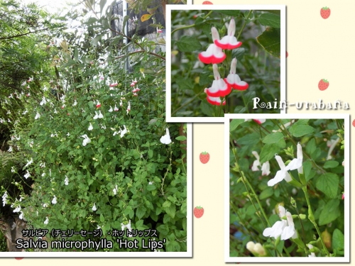 気温上昇で白花に変身!