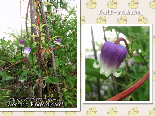 キングスドリーム今年も咲きました♪