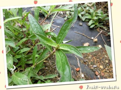 ファイヤーワークスの葉っぱは細長い