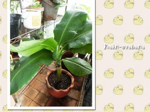バナナ植えたった Ш^ ^Ш