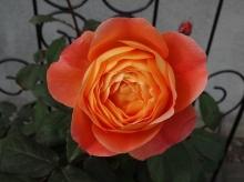 6月5日開花 花径 約9cm