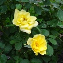 6月6日 ミニバラ 黄色