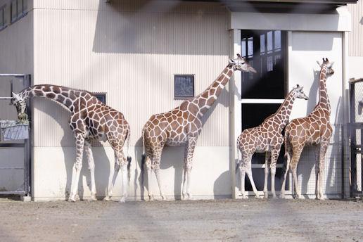 '14.2.8 giraffe family 4455