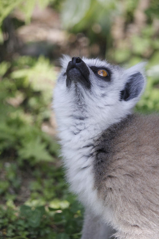 '14.4.27 ring-tailed lemur 0583