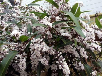 S20140329今年も満開になった白い花アップ