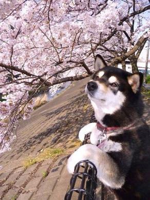 S20140425桜の木と日本犬の笑顔