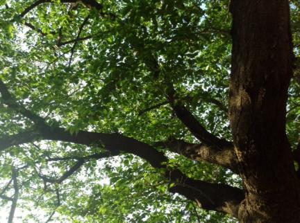S20140504桜の新緑