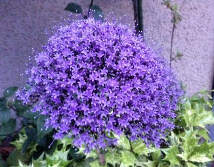 S20140620江ノ島紫の小さな花