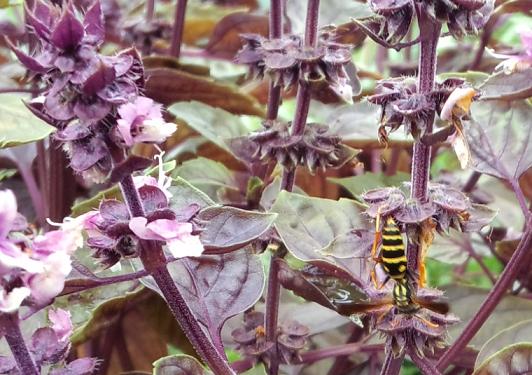 20140806_あしなが蜂