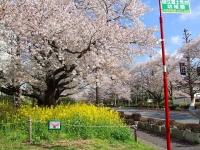 国立桜2014-1