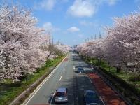 国立桜2014-2