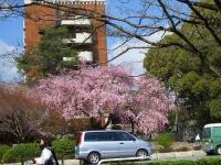 国立桜2014-3八重紅しだれ