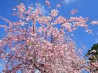 国立桜2014-4八重紅しだれ
