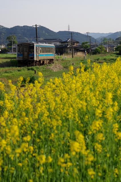 菜の花とキハ31