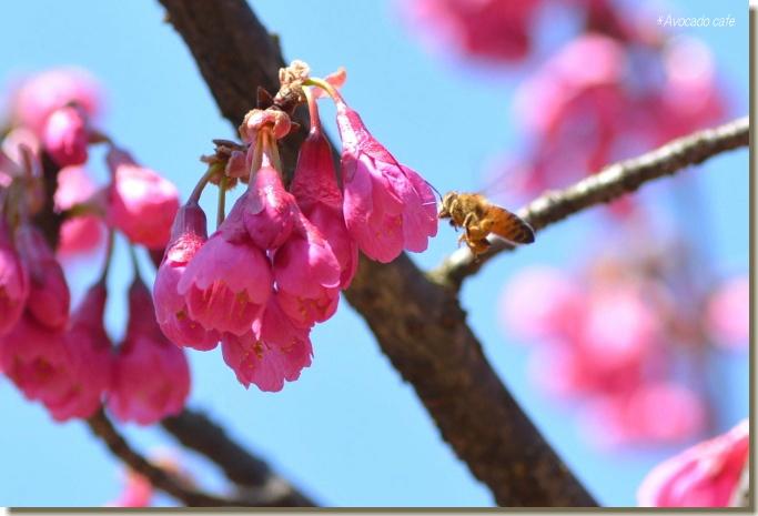 寒緋桜と蜜蜂
