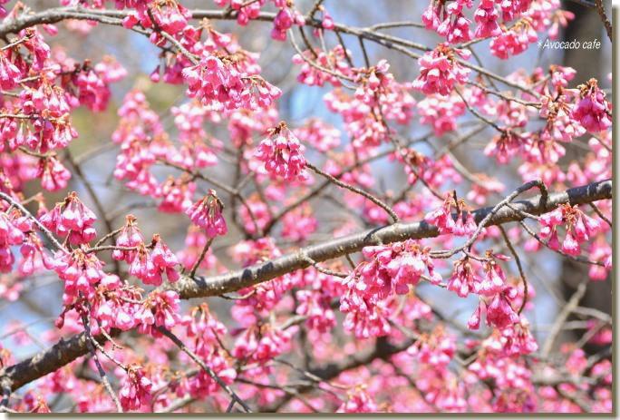 寒緋桜の木