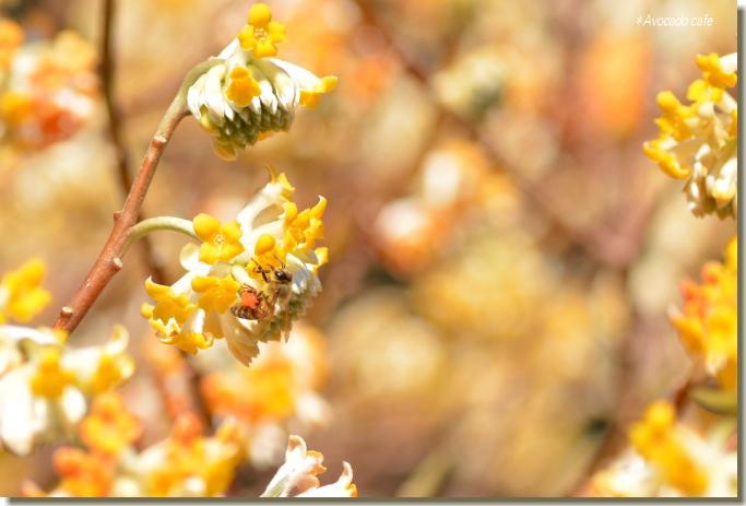 三椏の花に蜜蜂