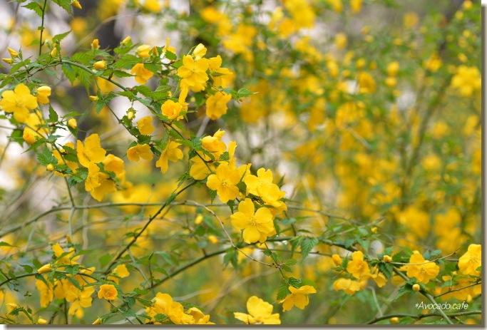 山吹の花1