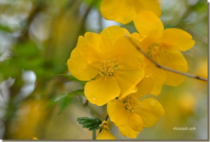 山吹の花2