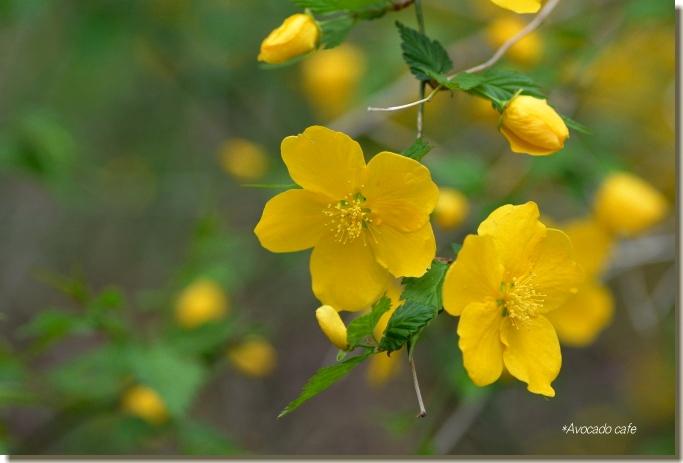 山吹の花3