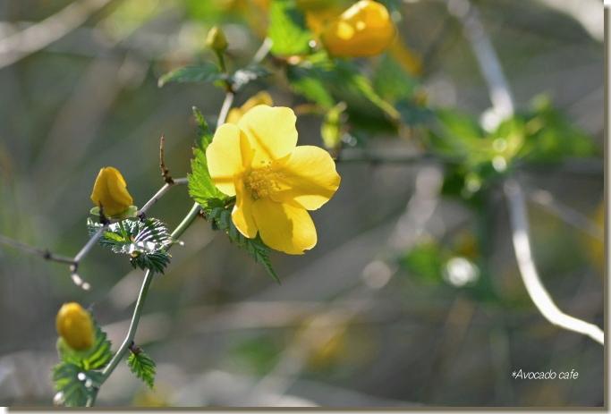 山吹の花4